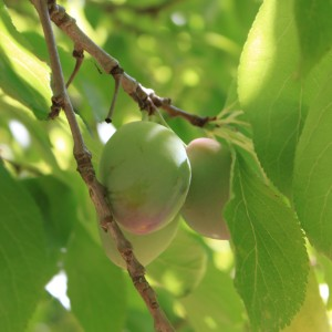 Green Gages Plums