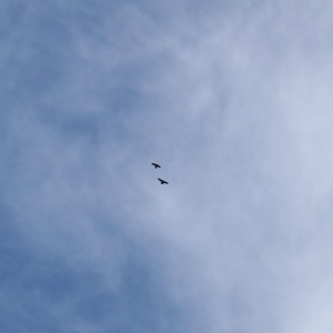 Two ravens flying overhead
